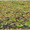 swimming leaves