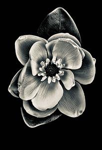Magnolia #1.jpeg