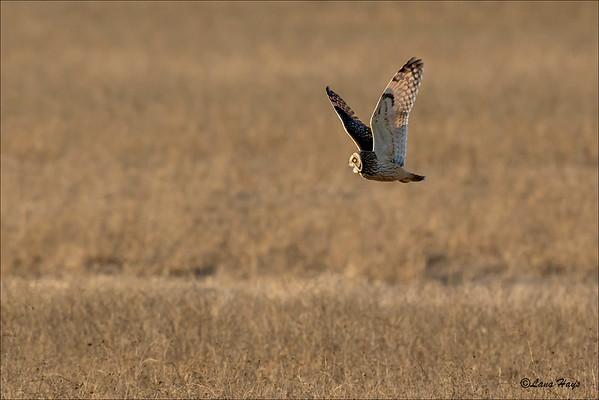 Short-eared Owl calling