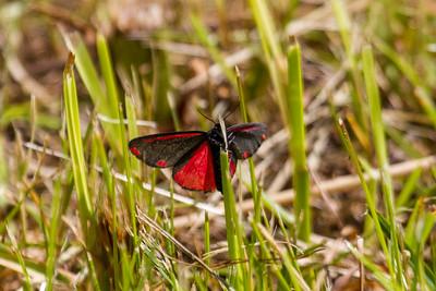 Cinnabar Moth ~ Blodplet