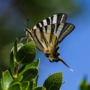 Swallowtails - Svalehaler