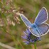 Argusblåfugl