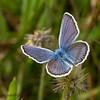 Argusblåfugl (Plebejus argus)