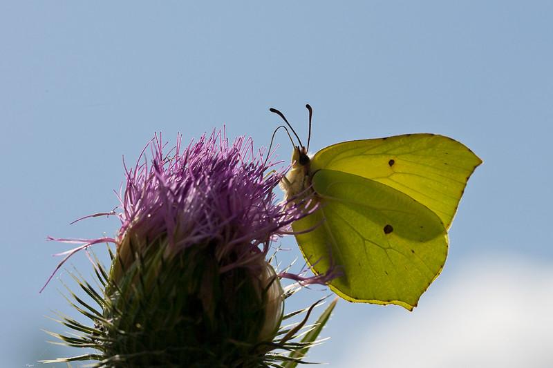 Citronsommerfugl