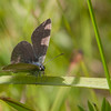 Dværgblåfugl