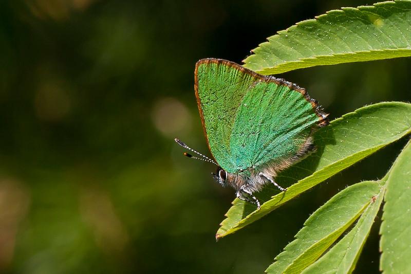Grøn Busksommerfugl