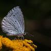 Skovblåfugl