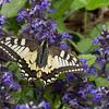Svalehale (Papilio machaon)