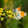 aurora sommerfugl ps-049