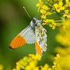 aurora sommerfugl ps-062