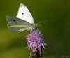 sommerfugl ps-053