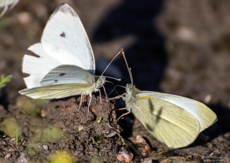 sommerfugl ps-033