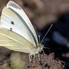 sommerfugl ps-016