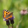 neslesommerfugl