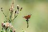 sommerfugl ps-005