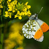 aurora sommerfugl ps-084