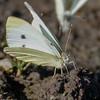 sommerfugl ps-012