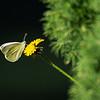 sommerfugl ps-036