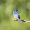 Male Bluebird near Lake Sommerville, Texas
