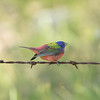 Male Painted Bunting near Lake Sommerville, Texas