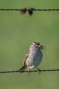 White-crowned Sparrow gathering nesting material.
