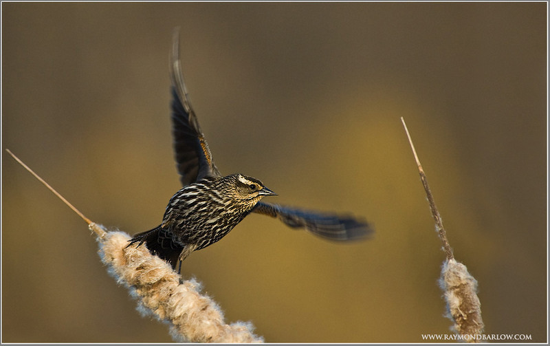Red-winged Blackbird   (2006)