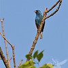 in Queeny Park early evening, a Indigo Bunting