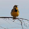Western Meadowlark in Colo.