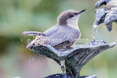 Pygmy Nuthatch and Birdbath
