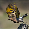 Northern Flicker in Flight