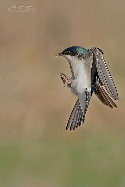 A Tree swallow coming in for a landing!<br /> <br /> Maria and I ventured over to Toronto today to spend the morning in a waterfront park.  Lots of trees swallows at this location, so we decided to try to catch some flight shots.<br /> <br /> Coming in for a landing to its nest box this bird was about 7 inches away from the touchdown point.  The landing gear is up and ready with the air brakes fully operational.<br /> <br /> I hope to give this shoot another try soon, and switch over to the Sony A9 camera.  <br /> <br /> Thanks for looking!
