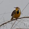 Colo. Western Meadowlark