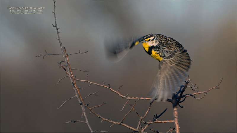 """Our second try with the meadowlarks tonight, April 2nd, 2021.  Way too many images!  Between myself and Maria, well over 1000 shot of these species in less than 2.5 hours! <br /> <br /> Eastern meadowlark lift off.<br /> <br /> Special thanks to Daisy and Maria for all the help tonight!<br /> <br /> It is very difficult with 1260 mm eq. to hold the camera steady, with a bird 32 meters off in a field, with the wind gusting on a very cool afternoon! +4C.  Then at least a 50% crop to add to the processing fun! <br /> <br /> So considering this was shot in asp-c or """"crop"""" mode, and cropped even more in post-processing, I would say the Sony gear did a decent job.  200 ISO sure helps, with the bright sun at our backs!.  <br /> <br /> Next Challenge - After spending a few hours with these birds and a lot of study, I think I am ready to try video.<br /> <br /> I need all the conditions to be just right for at least an hour this week, so we have a decent chance.  And most of all, a horseshoe in my back pocket for luck!  It is not impossible, so why not try!  I think we have enough still shots!  I have a blind ready, and all the gear except for the 'Dead-cat"""" I ordered yesterday, that should be here tomorrow pm.  (wind noise defector that will slip over my microphone).<br /> <br /> So, we will see if everything works out.<br /> <br /> Thanks for looking!"""