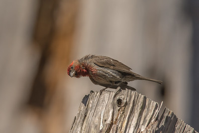 House Finch, Point Reyes National Seashore.