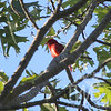end of Summer Tanager