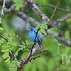 a Indigo Bunting at RT66 Park