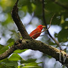 a Summer Tanager, male , at Queeny Park , Missouri