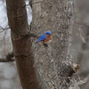 late afternoon Eastern Bluebird