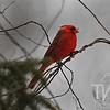springtime male Cardinal