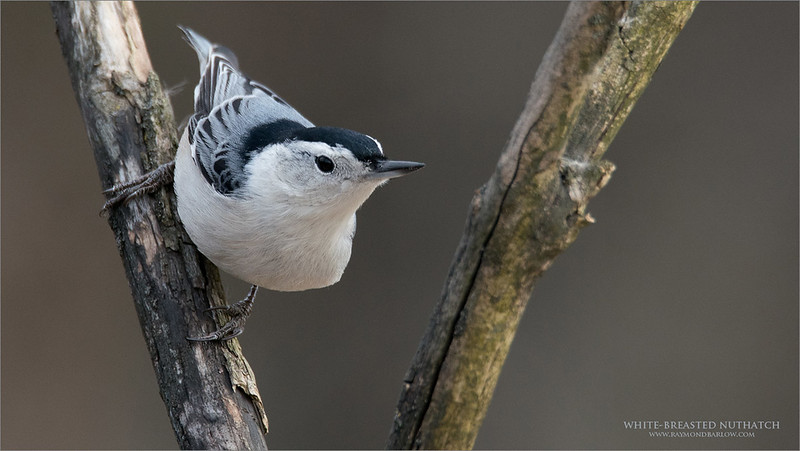 White-breasted nuthatch<br /> <br /> Maria and I were hosting a day trip workshop, and came onto some songbirds last week, good fun in sweet light with these beauties.<br /> <br /> We were using the Tamron 150-600 g2 with the Sony mount adapter.<br /> Jobu Algonquin Tripod and Jobu Gimbal head.<br /> Sony A9 camera.