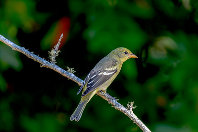 Western Tanager, Inverness, California.