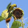 Golden Finch food