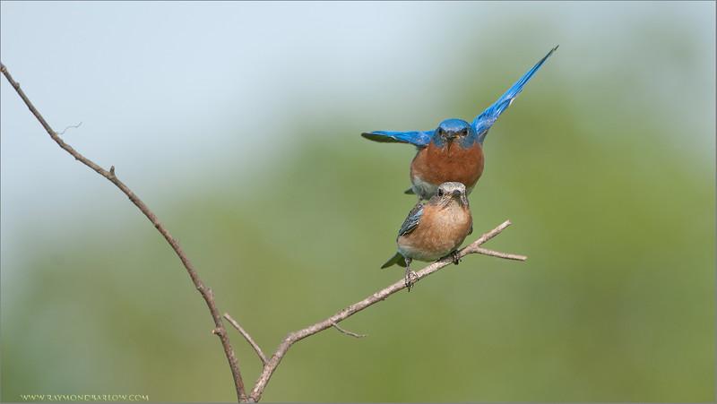 DSC_9109 Eastern Bluebirds Mating 1200 web