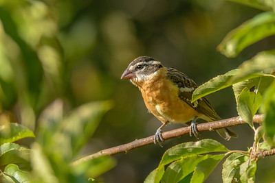 Black-headed Grosbeak, Inverness, California.