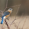 Eastern bluebird.<br /> <br /> I think this is a first year bird, just developing its adult feathers and preparing to nest.<br /> <br /> Maybe another 3 weeks, and the blues will be brilliant!<br /> <br /> Looking forward to more opportunities with these beauties soon.<br /> <br /> Workshops!<br /> <br /> ray@raymondbarlow.com