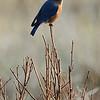 a Missouri Bluebird