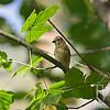 a LesserGoldfinch