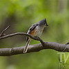 a Tufted Titmouse