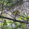 Goldfinch in Queeny Park