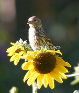 Pine Siskin on Sunflower